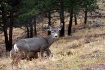 Mule Deer of the ...