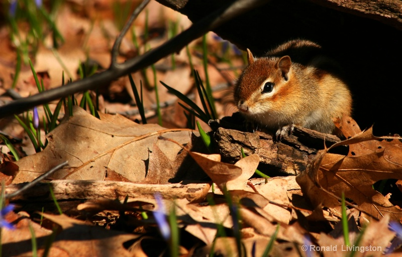 Woodland Friend - ID: 8125929 © Ron Livingston