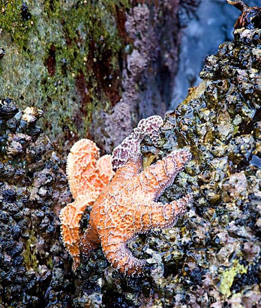 starfish  - ID: 8127109 © Annie Katz