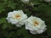 Buddy Roses