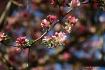 Pink Buds Spring ...