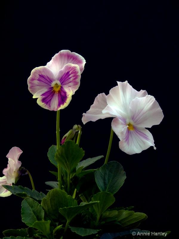 African Violet 1 - ID: 8139849 © Ana Hanley