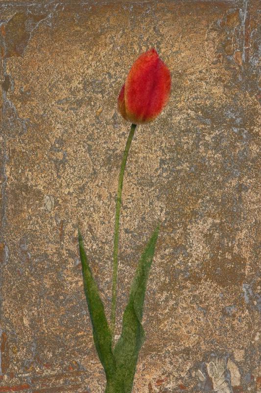 Tulipa Rustica