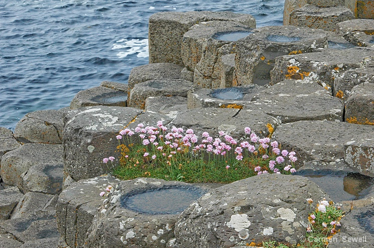 Giant's Causeway with Thrift - ID: 8146777 © Carmen B. Sewell