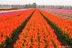 Tulip carpet