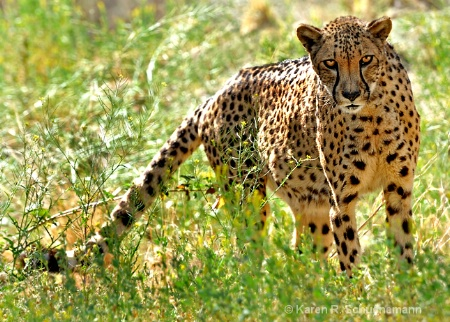 Cheetah in the Grass