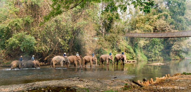 Elephants going to Bathe - ID: 8169420 © Carmen B. Sewell