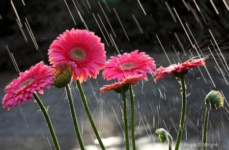 Raining on Gerbera daisies