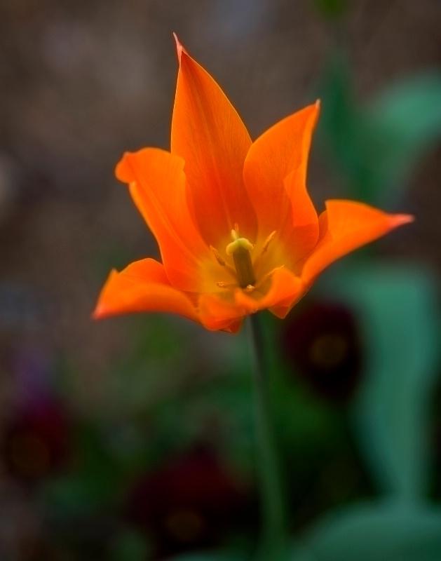Orange Tulip - ID: 8191731 © Robert M. Cooper