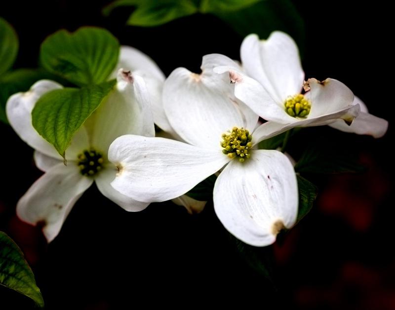 White Dogwood - ID: 8191764 © Robert M. Cooper