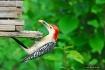 Woody Woodpecker ...