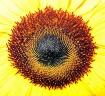 """""""Sunflower Ce..."""