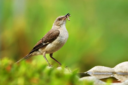 Mockingbird With Worm