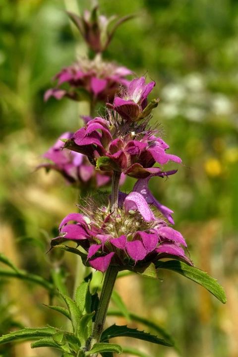 Purple Horse Mint