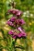 Purple Horse Mint...
