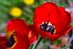 Tulips No Waiting