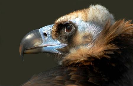 Eurasion Black Vulture