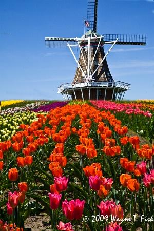 Tulip Trails