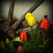 Tulips and Spokes