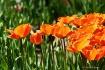 Tulip Passion