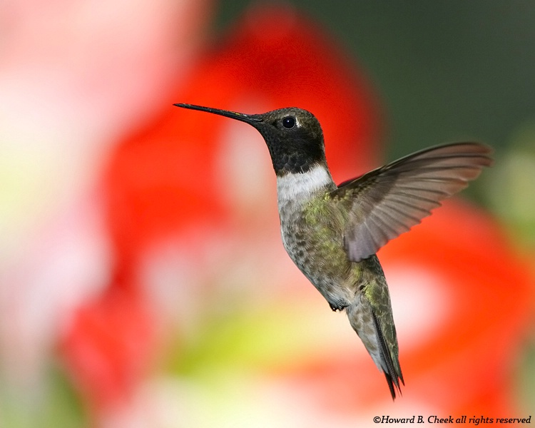 Black-chinned Hummer (male)