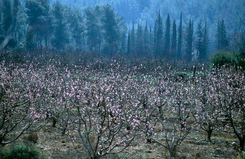 Plantation blossom at Emek Haela