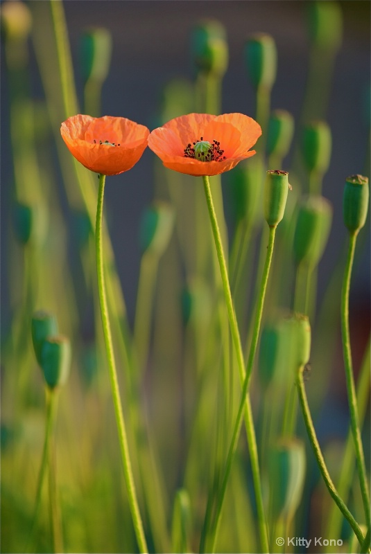 Poppies in Love in Aoyama Cemetery - Tokyo