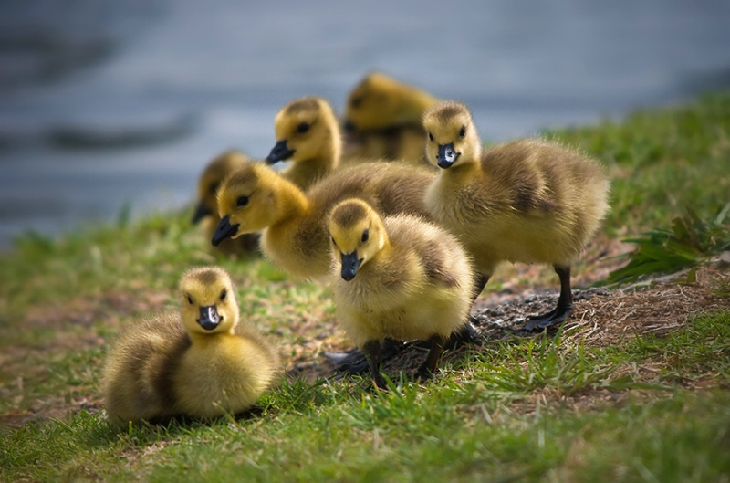 The Golden Geese