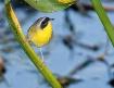 Common Yellowthro...