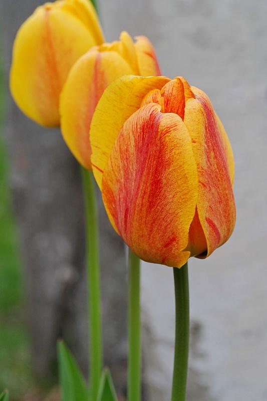 Tulip Trio - ID: 8285842 © Carla Daigle