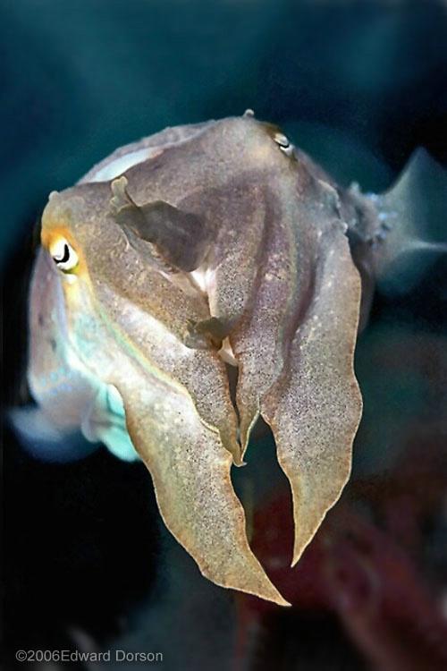 Cuttlefish_1 - ID: 8297145 © Edward Dorson