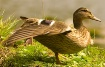 Female Mallard an...