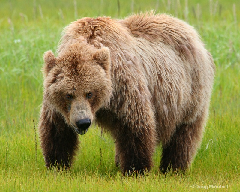 Brown Bear grazing. - ID: 8312510 © Douglas R. Minshell
