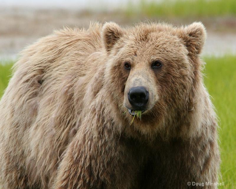 Brown Bear in the meadow. - ID: 8312513 © Douglas R. Minshell