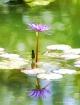 Purple Water Lill...