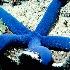© Edward Dorson PhotoID # 8331939: Lounging Blue Sea Star