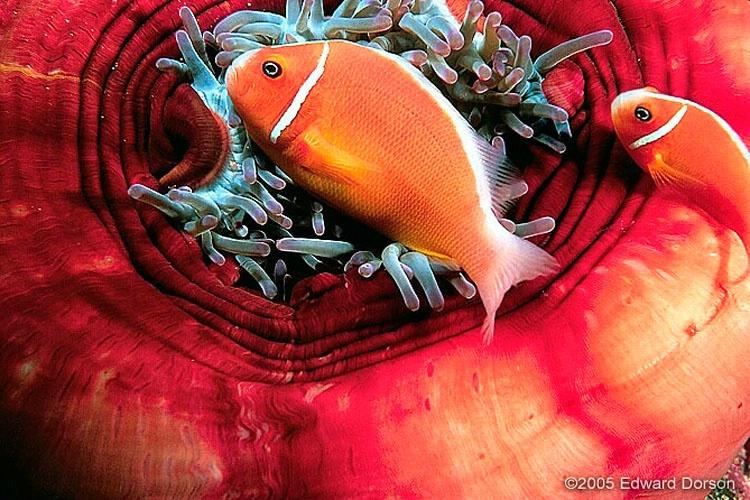 Pink Anemonefish Pair_1 - ID: 8340883 © Edward Dorson
