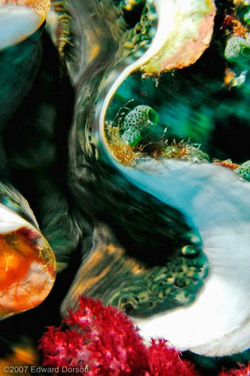 Giant Clam Mantle_5 - ID: 8340888 © Edward Dorson