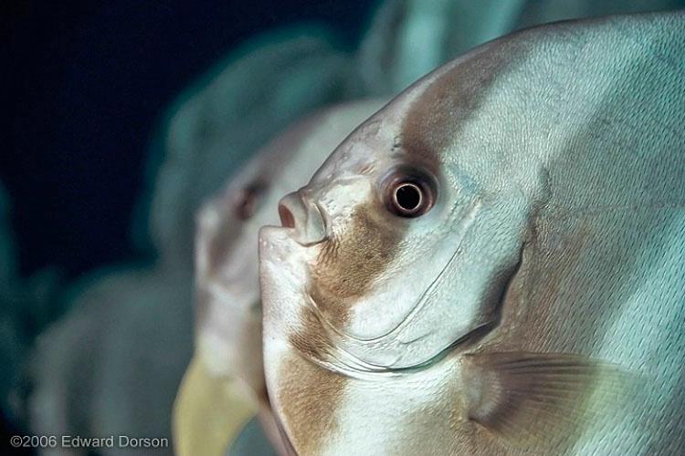 Longfin Spadefish School_1 - ID: 8340891 © Edward Dorson