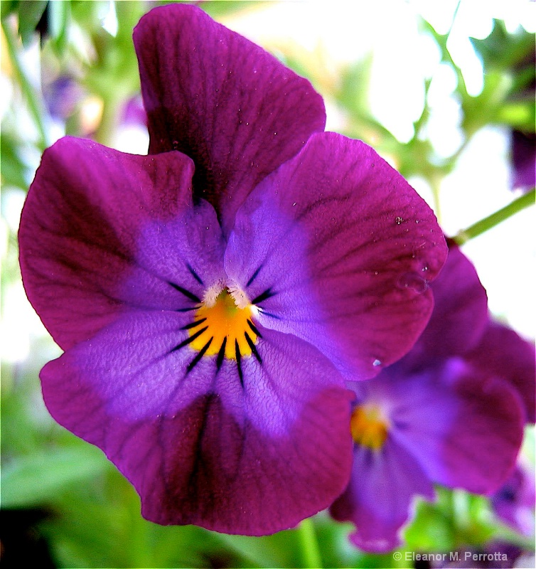 """Purple Pansy"""