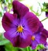 """Purple Pansy..."