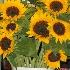 © Cynthia S. Lumberg PhotoID# 8367803: Sunflowers