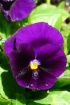 One Mini `Pansy`