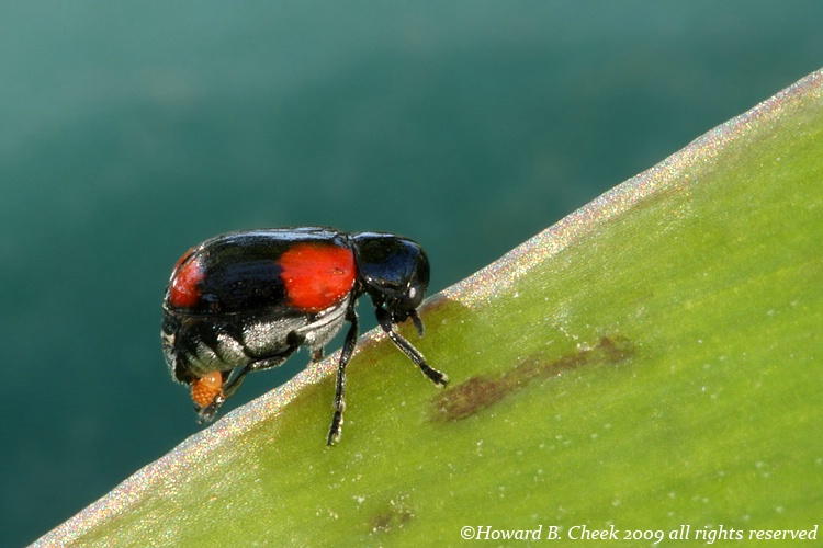 Four-spotted Babia Leaf Beetle