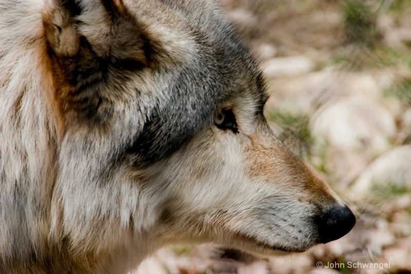 wolf desktop