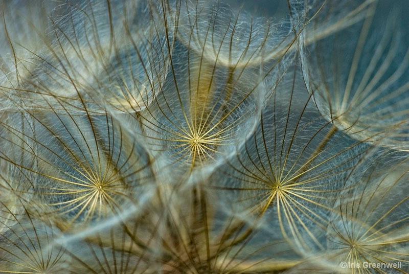 Translucid Dandelions