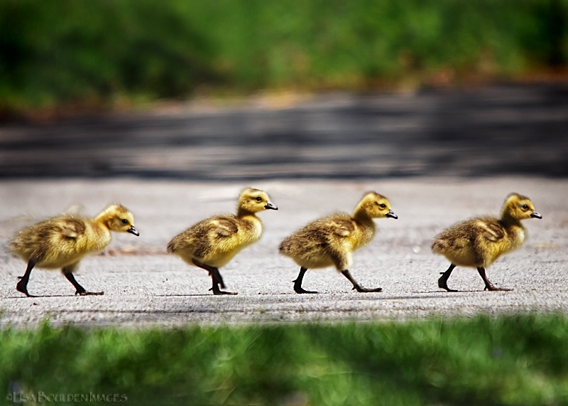Abbey Road - The Goslings