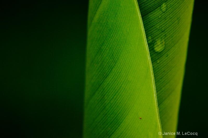 Banana Leaf #2 - ID: 8401762 © Janice  M. LeCocq