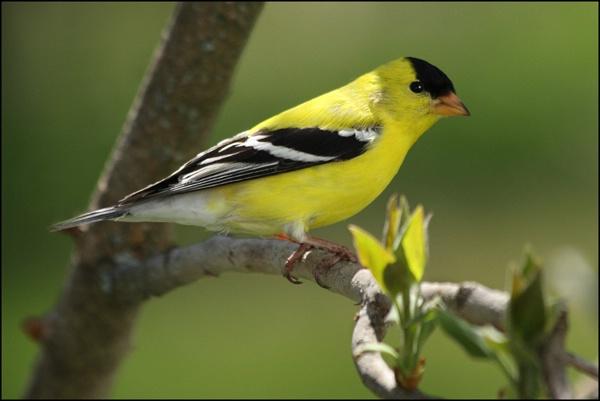 Little Yellow Finch