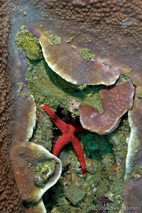 Red Sea Star_2 - ID: 8406097 © Edward Dorson